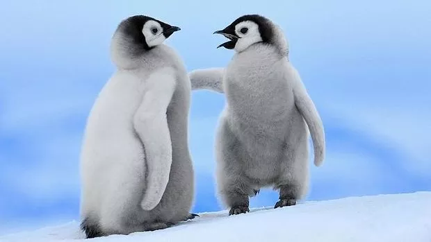 Photos Of Baby Penguins